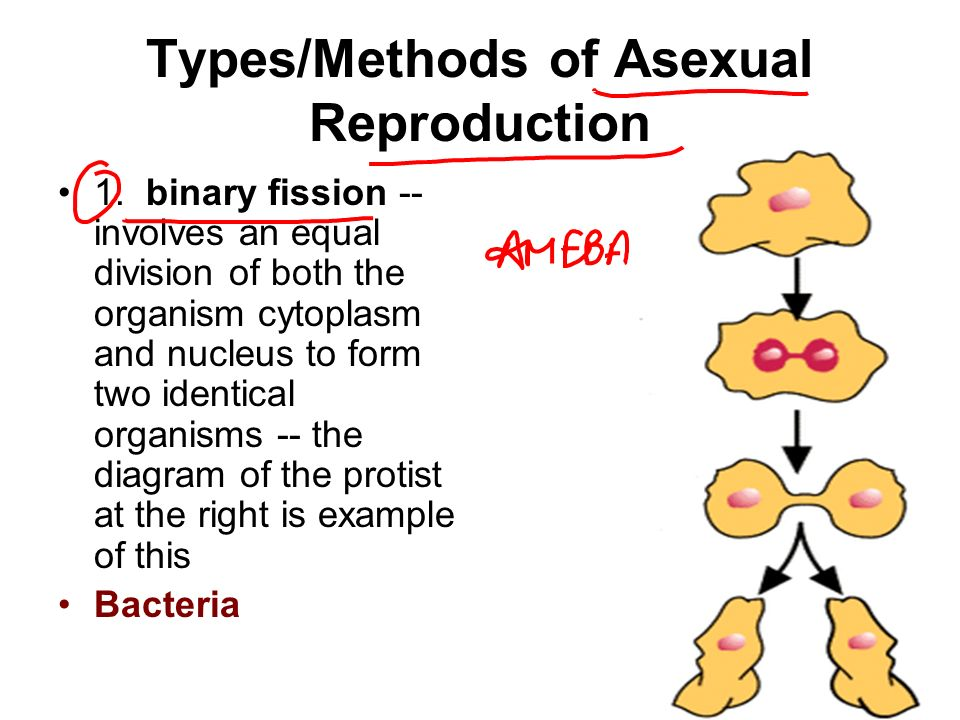 One means of asexual reproduction is binary