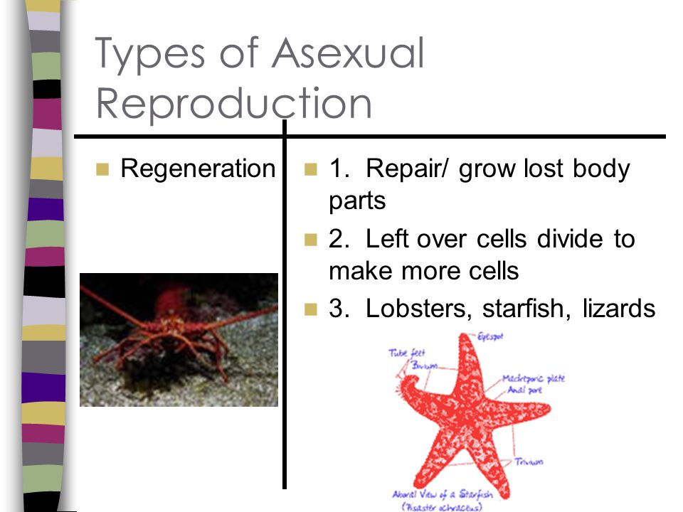 Regeneration asexual reproduction definitions