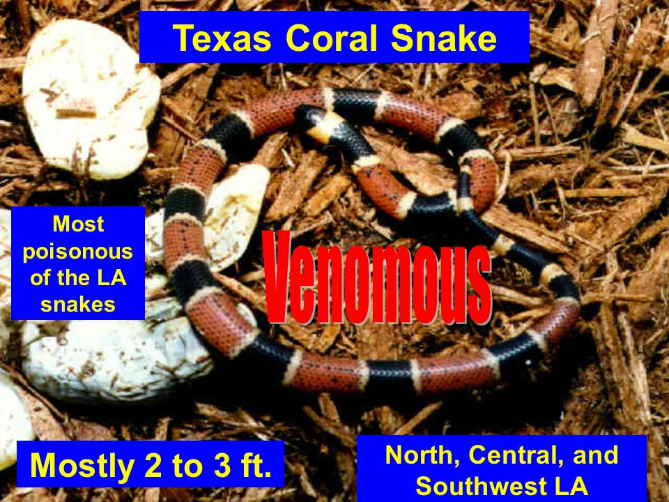 Most poisonous of the LA snakes North, Central, and Southwest LA