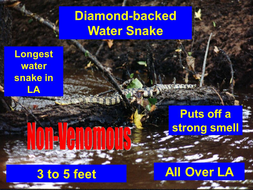 Diamond-backed Water Snake Longest water snake in LA