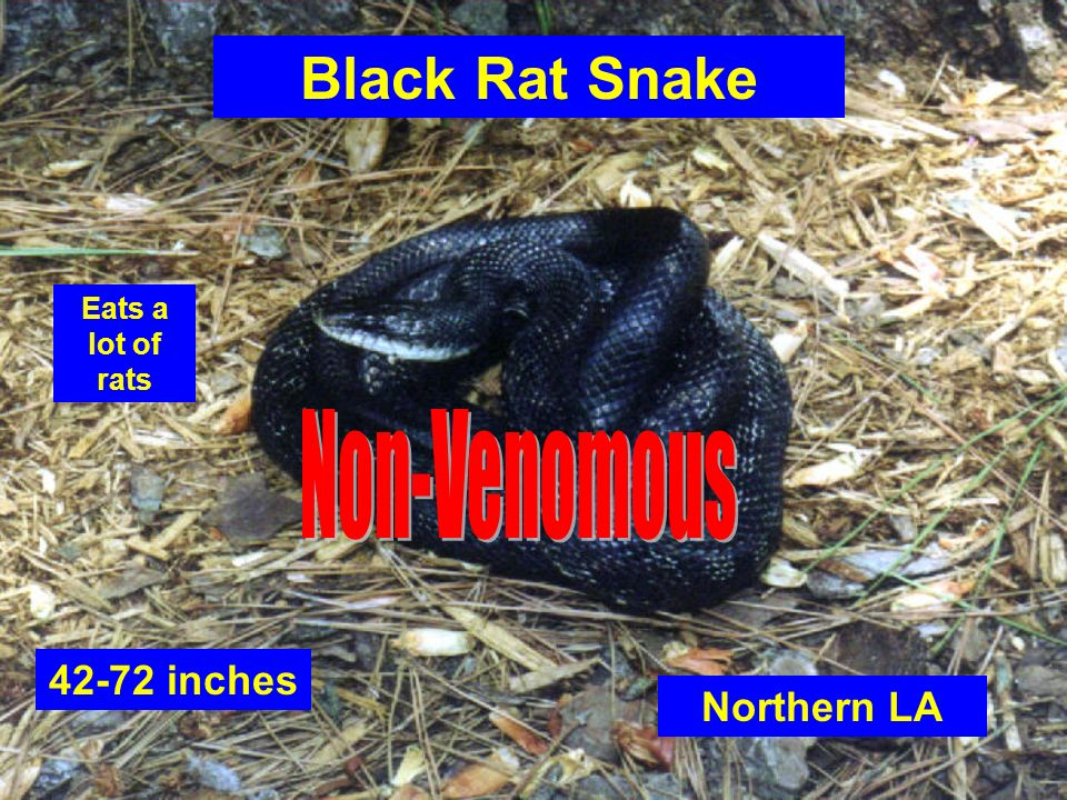 Black Rat Snake Non-Venomous 42-72 inches Northern LA