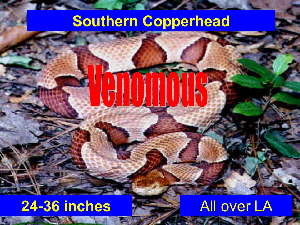 Southern Copperhead Venomous 24-36 inches All over LA