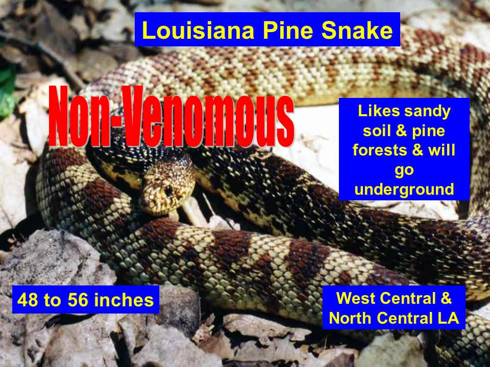 Louisiana Pine Snake Non-Venomous 48 to 56 inches