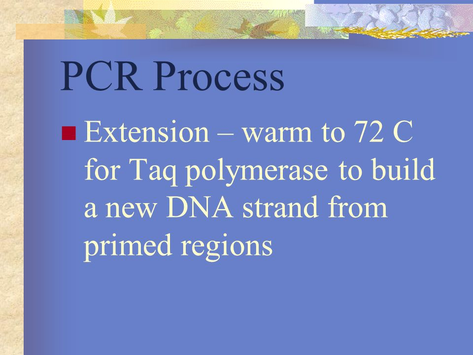 PCR Process Extension – warm to 72 C for Taq polymerase to build a new DNA strand from primed regions.