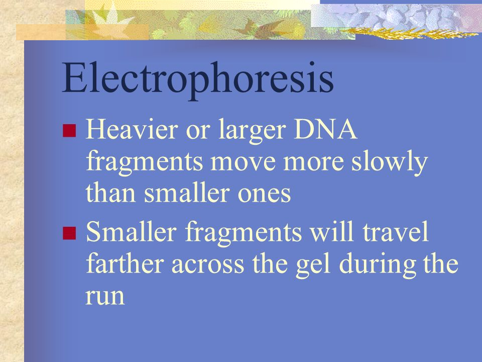 Electrophoresis Heavier or larger DNA fragments move more slowly than smaller ones.