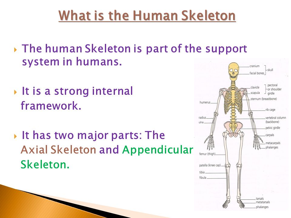 The Human Skeleton System 9 Cmh Physical Education Ppt Video