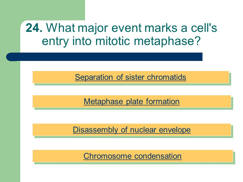 24. What major event marks a cell s entry into mitotic metaphase