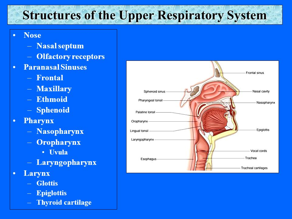 Structures of the Upper Respiratory System