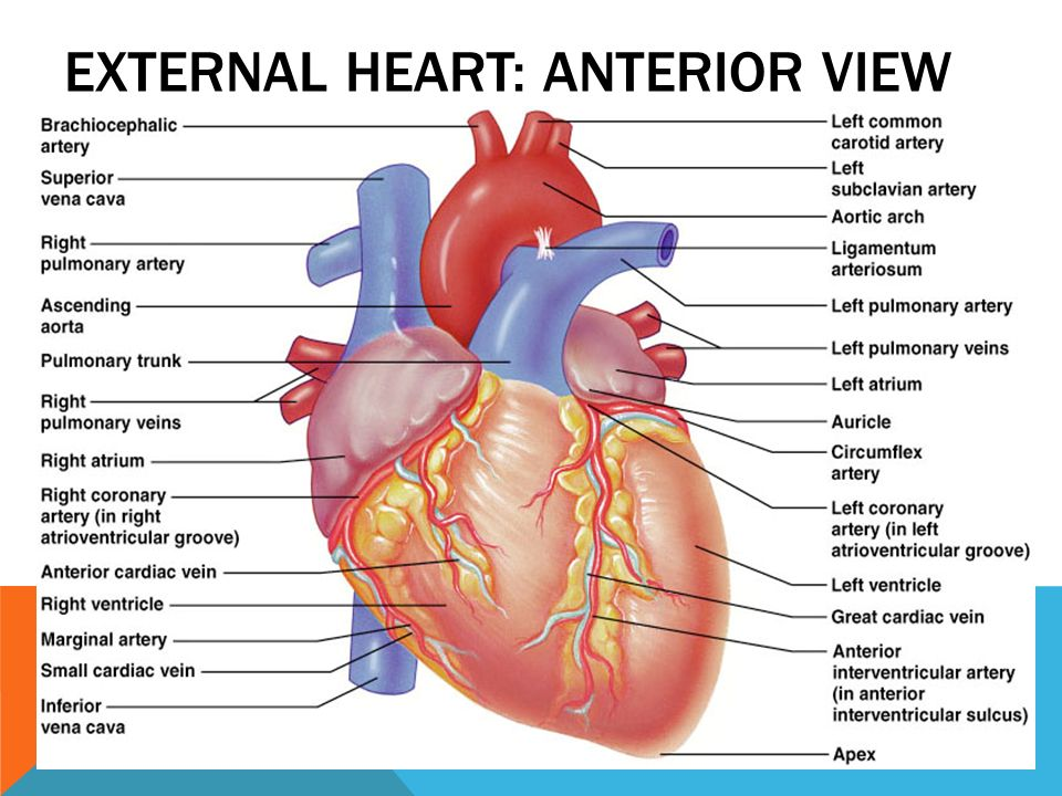 Heart diagram anterior view data wiring diagrams heart anatomy dr emad abu alrub aauj ppt video online download rh slideplayer com anterior view ccuart Choice Image