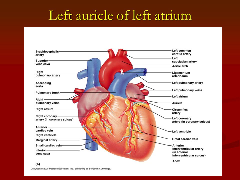 The Circulatory System Ii The Heart Ppt Video Online Download