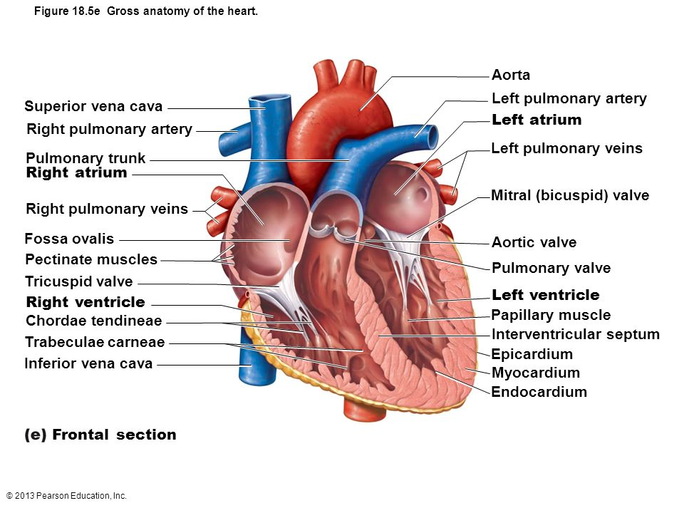 The Pulmonary and Systemic Circuits - ppt video online download