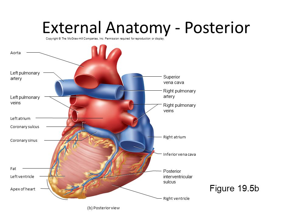 Dorable Heart External Anatomy Composition - Anatomy And Physiology ...