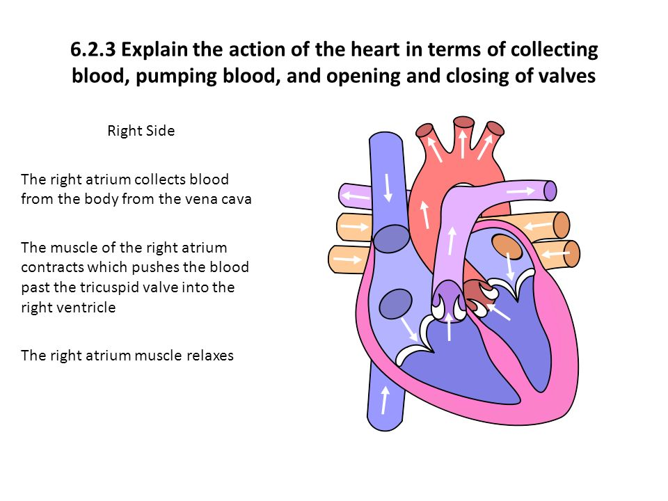621 draw and label a diagram of the heart showing the four 623 explain the action of the heart in terms of collecting blood pumping ccuart Gallery