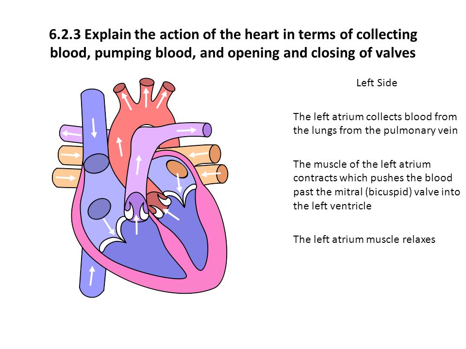 the heart in action