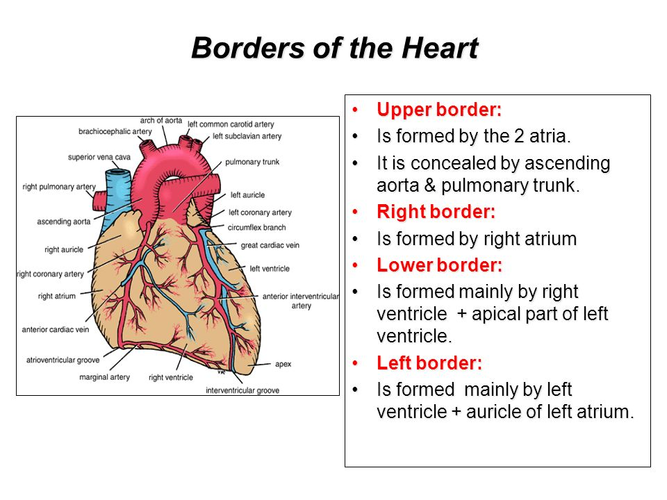 Anatomy Of The Heart Drnaa Al Shaarawi Dreed Vohra Ppt