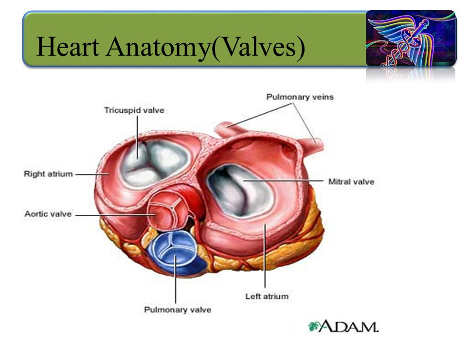 Anatomy of cardiovascular system - ppt video online download