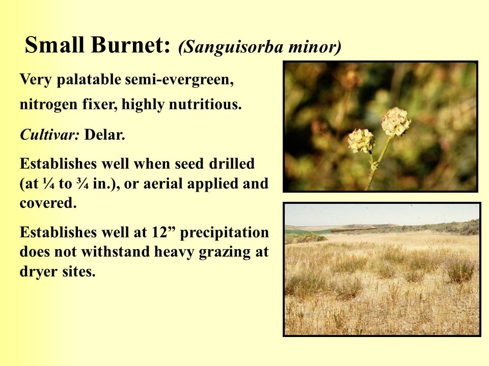 Small Burnet: (Sanguisorba minor)