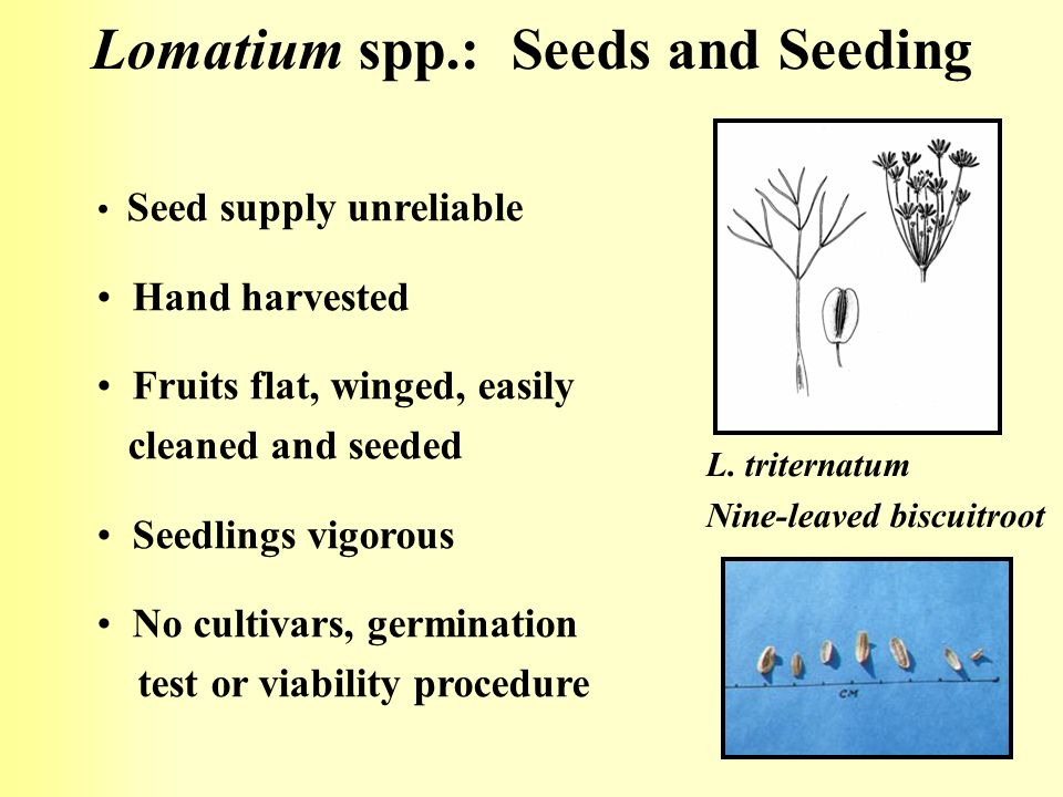Lomatium spp.: Seeds and Seeding