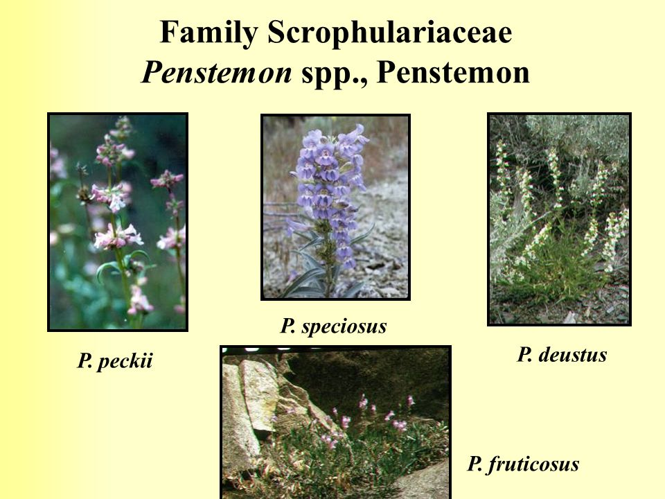 Family Scrophulariaceae Penstemon spp., Penstemon
