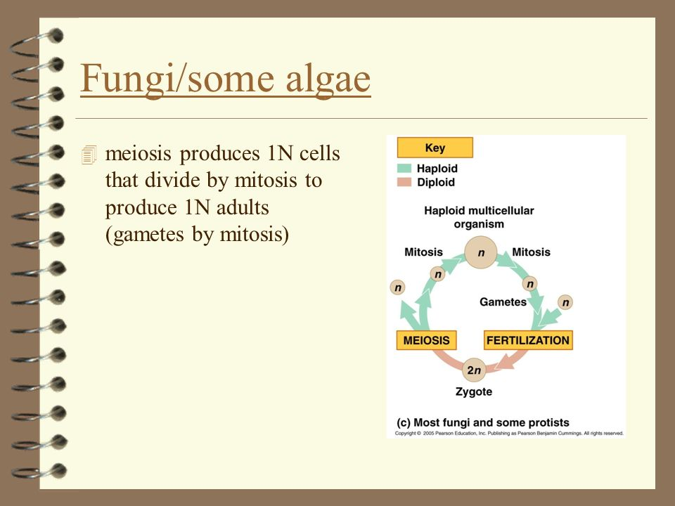 Fungi/some algae meiosis produces 1N cells that divide by mitosis to produce 1N adults (gametes by mitosis)