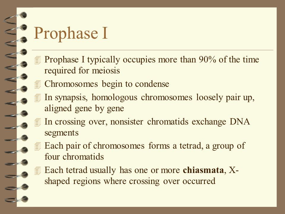 Prophase I Prophase I typically occupies more than 90% of the time required for meiosis. Chromosomes begin to condense.