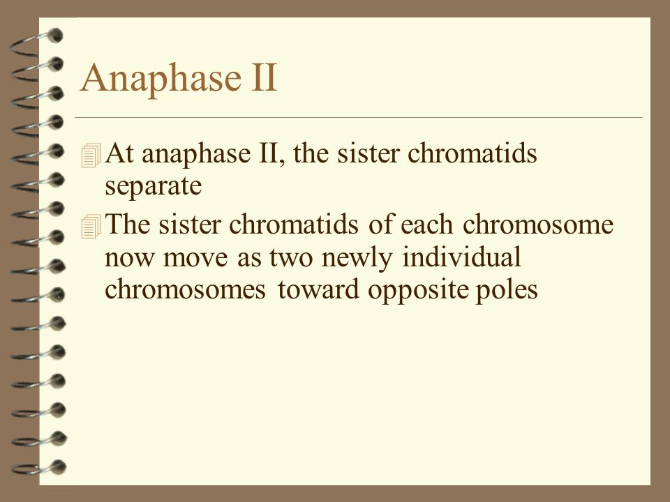 Anaphase II At anaphase II, the sister chromatids separate