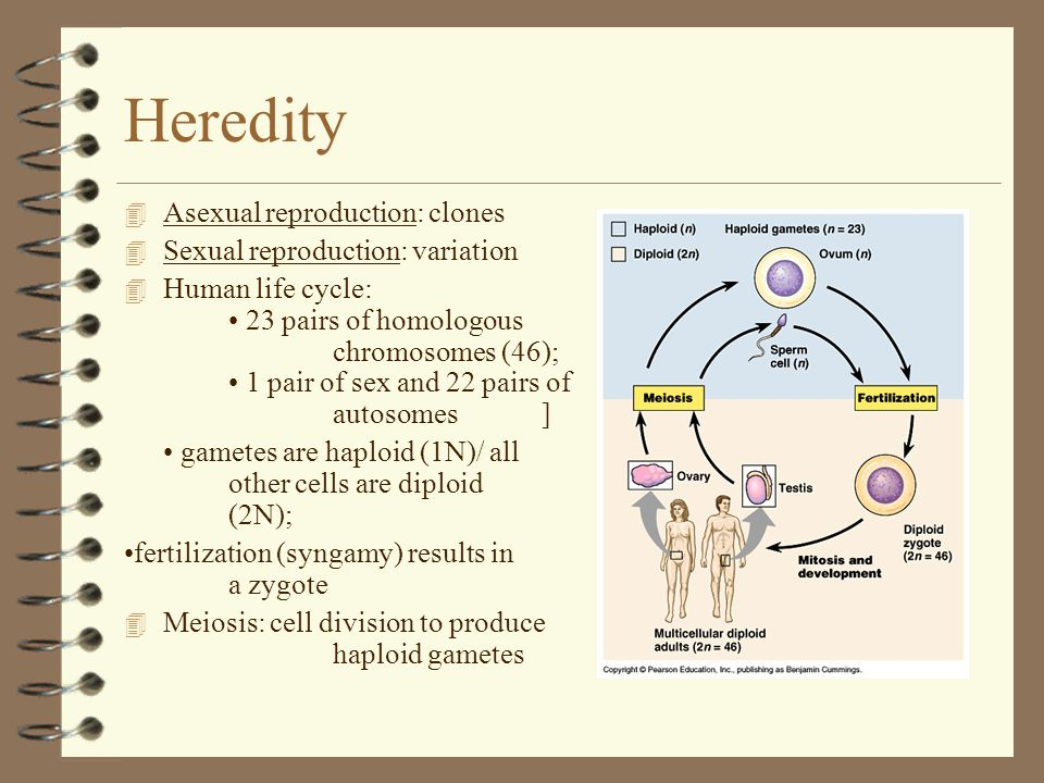 Heredity Asexual reproduction: clones Sexual reproduction: variation