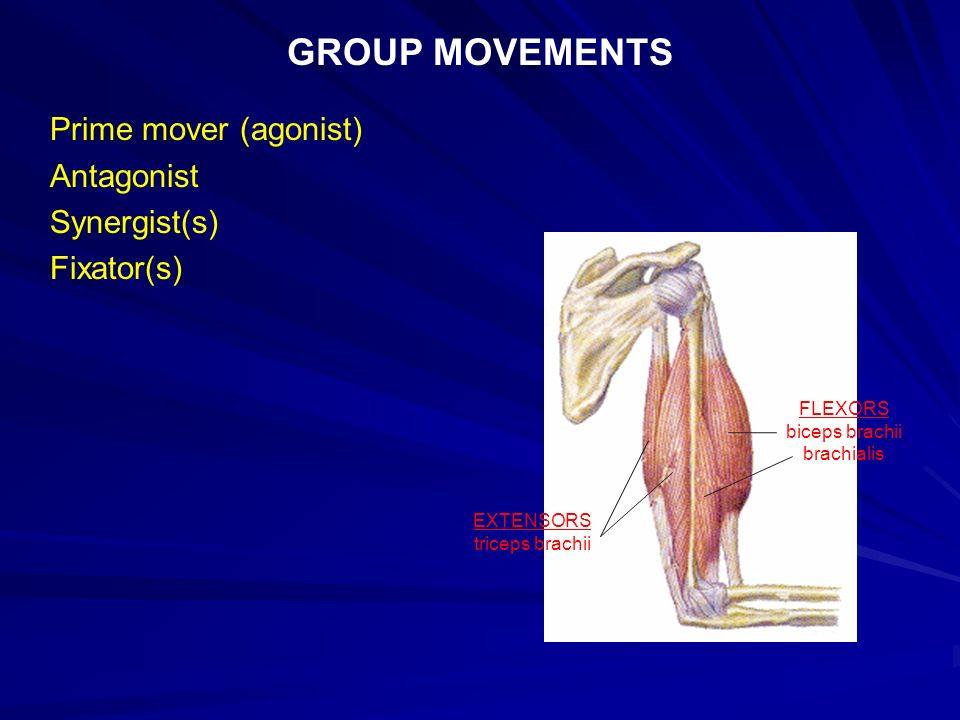 The Muscular System 1 How Do Skeletal Muscles Produce Movement