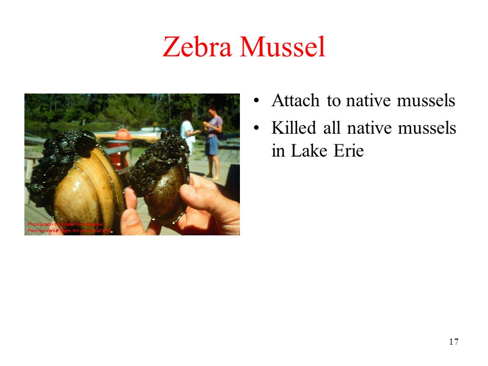 Zebra Mussel Attach to native mussels