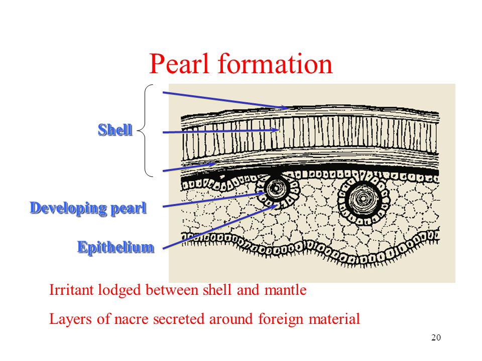 Pearl formation Shell Developing pearl Epithelium