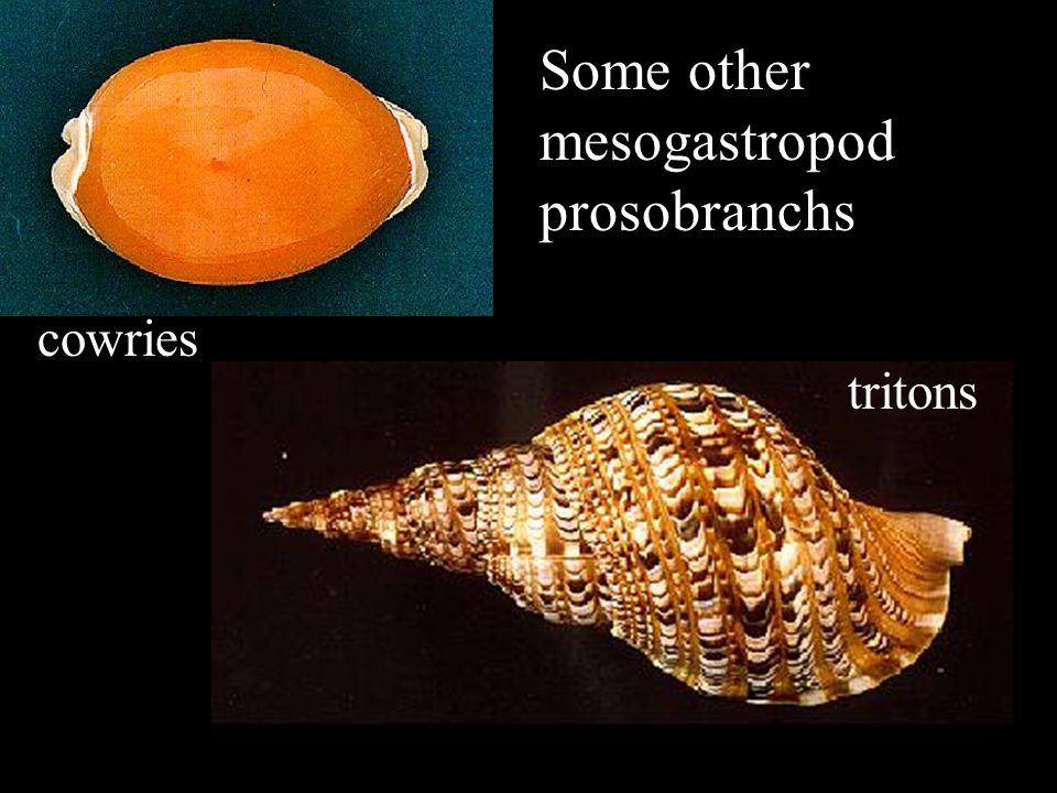 Some other mesogastropod prosobranchs