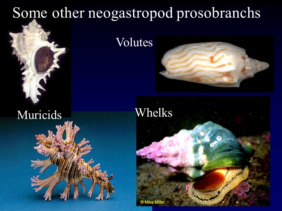Some other neogastropod prosobranchs