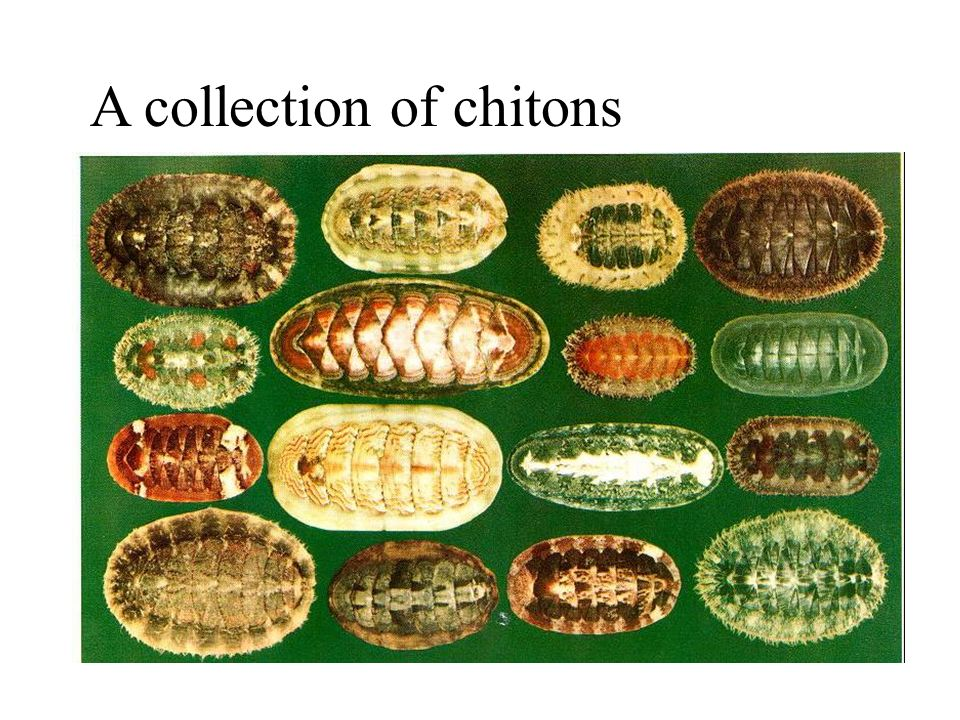 A collection of chitons