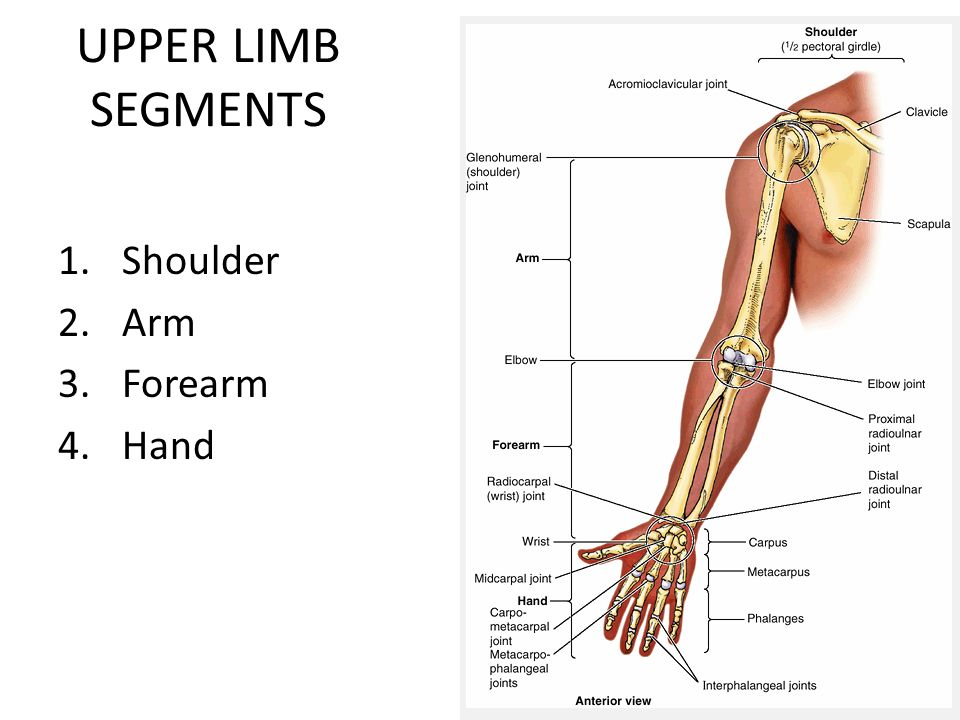 UPPER EXTREMITY Lecture #1 Bones and superficial structures of the ...
