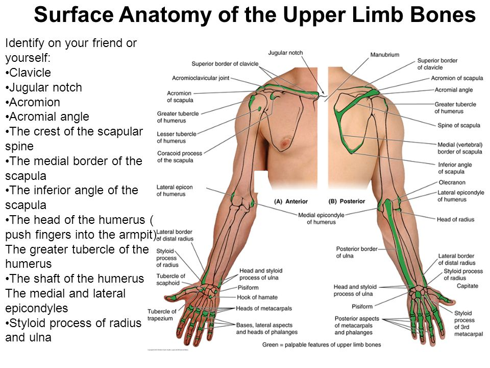 Upper Extremity Lecture 1 Bones And Superficial Structures Of The