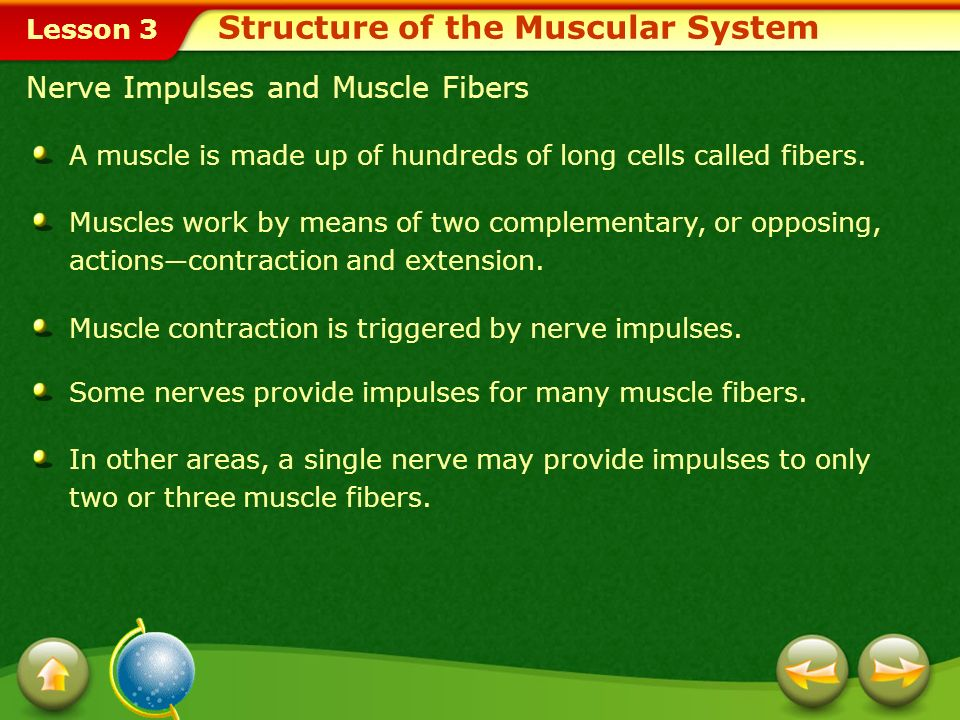 Structure of the Muscular System