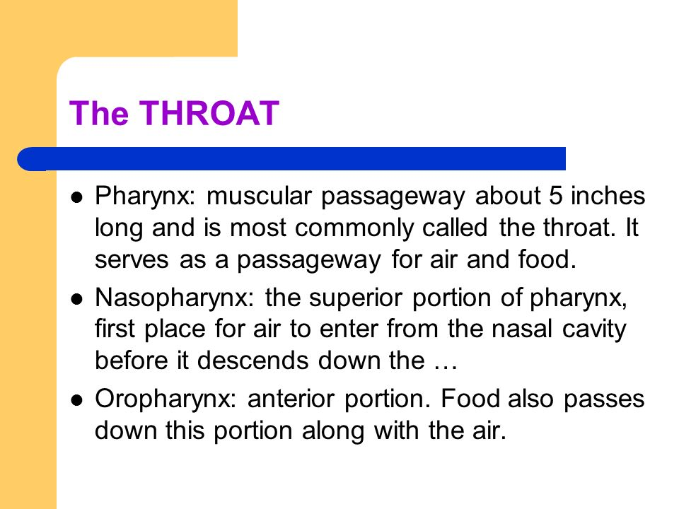 The THROAT Pharynx: muscular passageway about 5 inches long and is most commonly called the throat. It serves as a passageway for air and food.