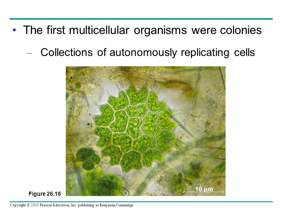 The first multicellular organisms were colonies