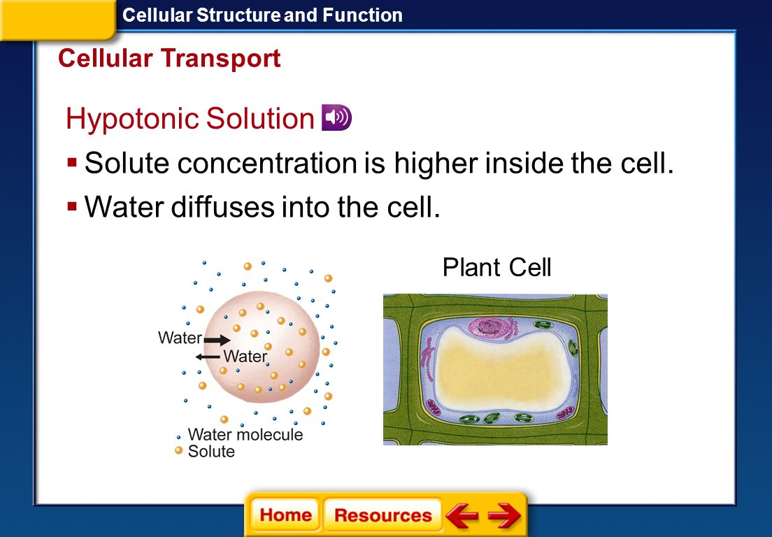 Solute concentration is higher inside the cell.