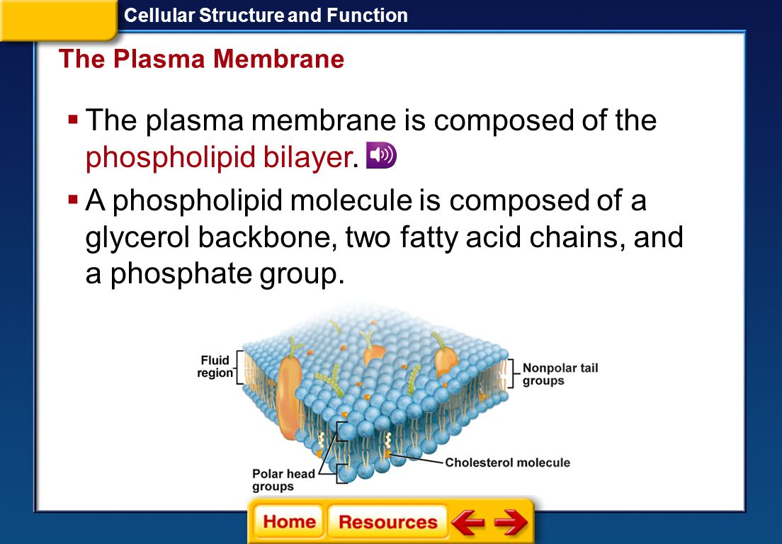 The plasma membrane is composed of the phospholipid bilayer.