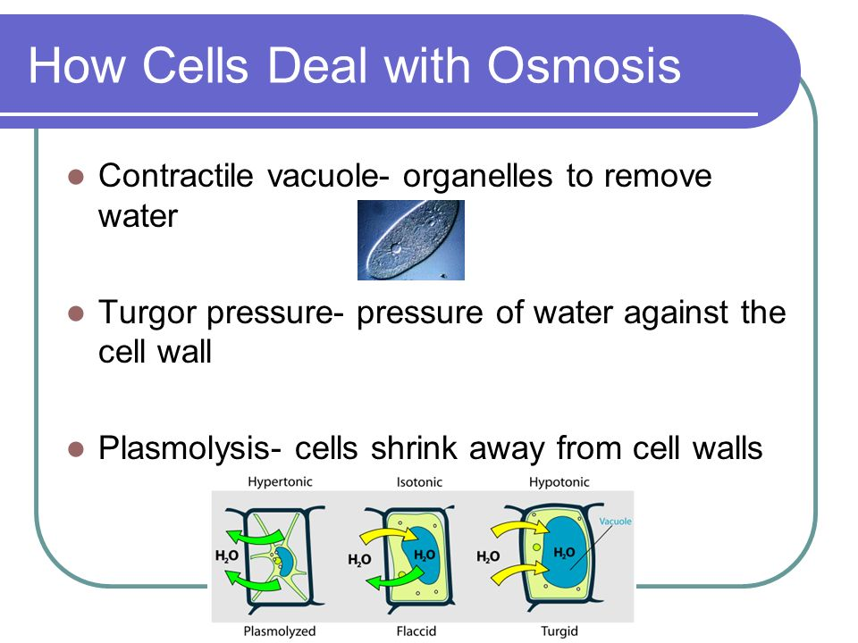 How Cells Deal with Osmosis