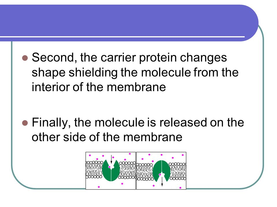 Second, the carrier protein changes shape shielding the molecule from the interior of the membrane