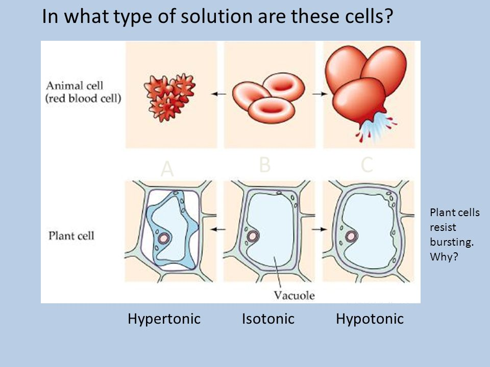 B C A In what type of solution are these cells Hypertonic Isotonic