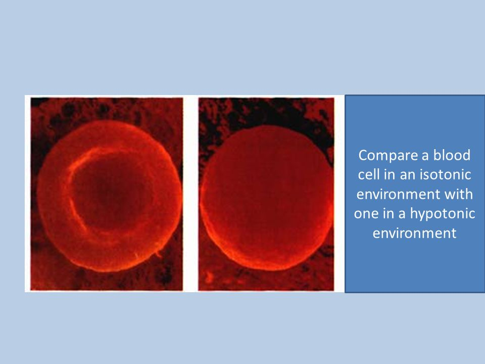 Compare a blood cell in an isotonic environment with one in a hypotonic environment