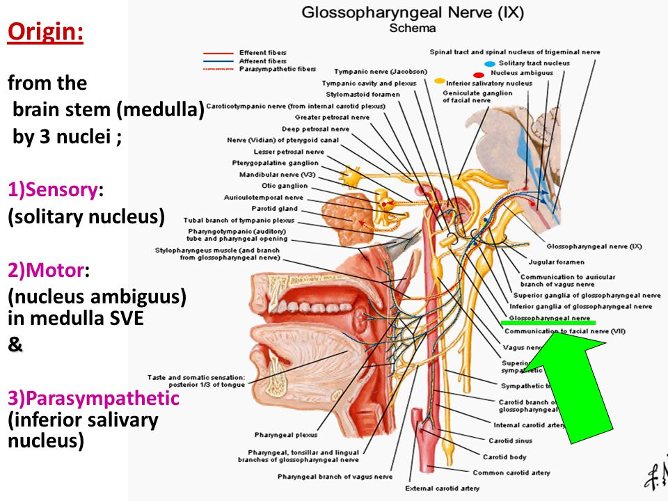 Glossopharyngeal And Vagus Nerves Ppt Video Online Download