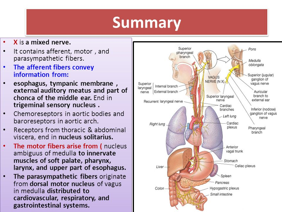 Attractive Vagus Nerve Anatomy Ppt Motif - Anatomy And Physiology ...
