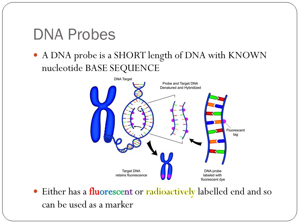 DNA Probes A DNA probe is a SHORT length of DNA with KNOWN nucleotide BASE SEQUENCE.