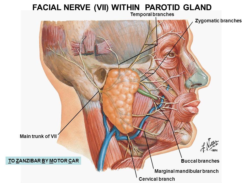 Face Nerves Anatomy Gallery Human Body Anatomy
