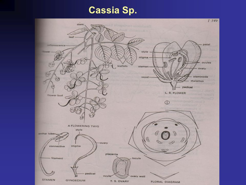 General account and diagnostic features of the families ppt 14 cassia sp ccuart Choice Image