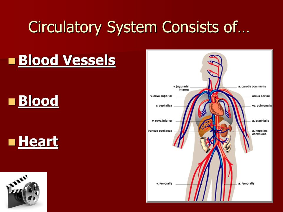 Circulatory System Blood Flow Summary Blood Vessels The ...